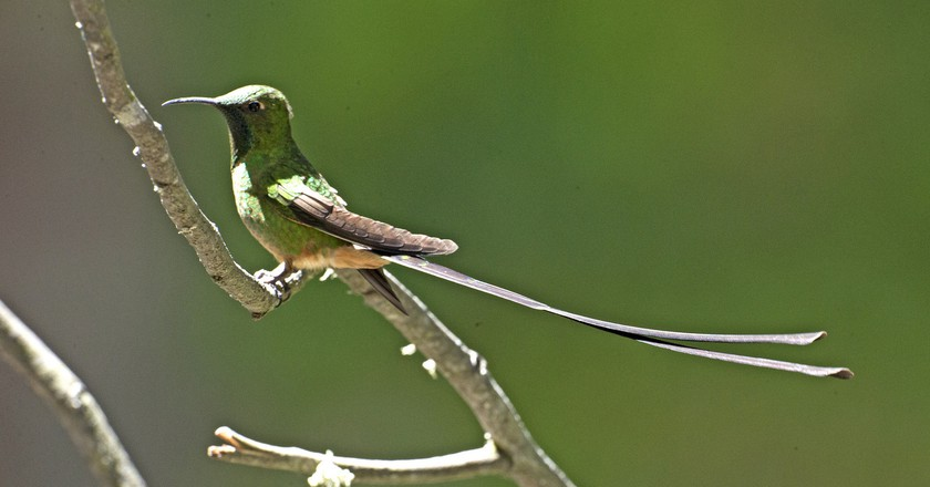 Black-tailed trainbearer | © Kip Lee/Flickr