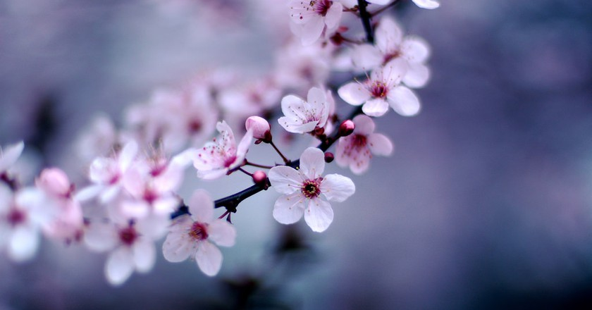 Haiku Poetry About Japan's Cherry Blossoms