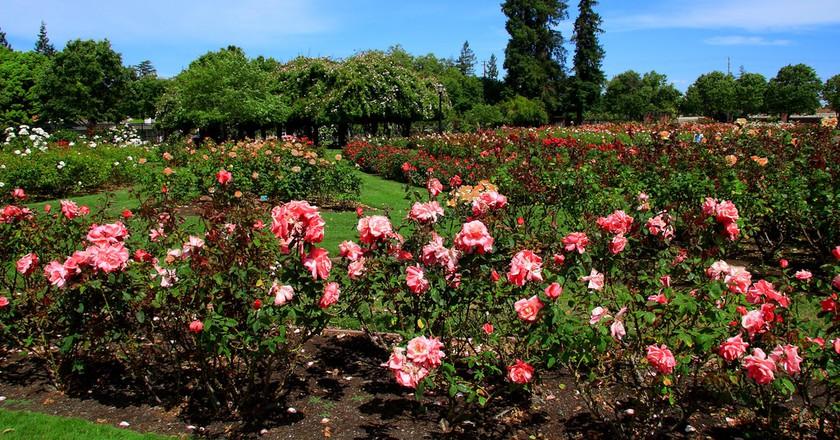 San Jose Municipal Rose Garden | © John Mehnard / Flickr