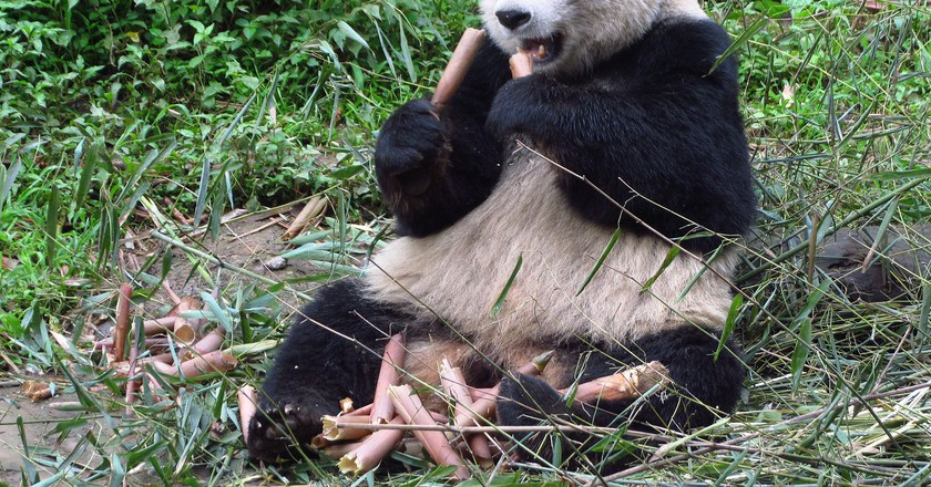 Panda at Bifengxia | © NoGhost/ wikimedia commons