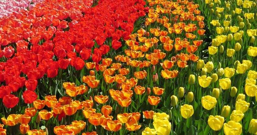 pixabay - Tulip Garden Near Me