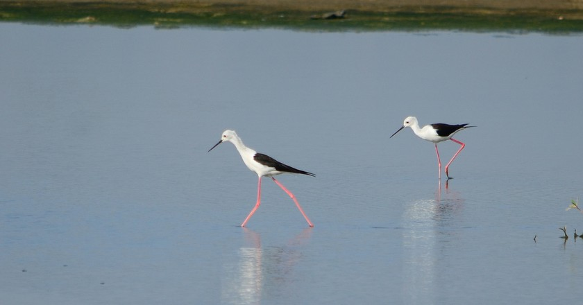 Black-winged stilts spotted   at Pambros salt ponds, Accra, Ghana | © René Mayorga / Flickr