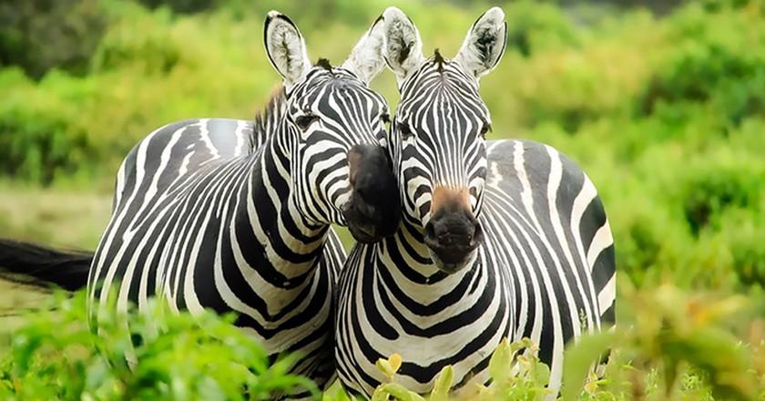 Happy Zebras  © by Pixabay / Pexels