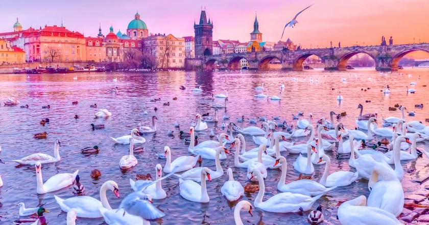 Swans near the Charles Bridge   © Balate Dorin / Shutterstock