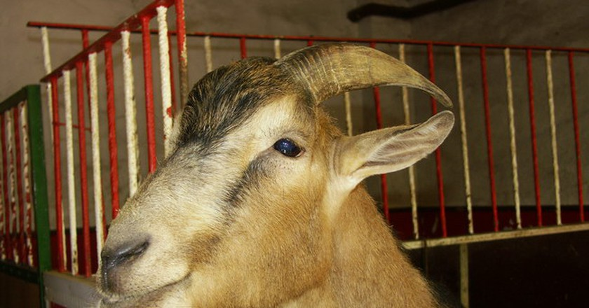 why the mascot for köln f c is a goat named hennes
