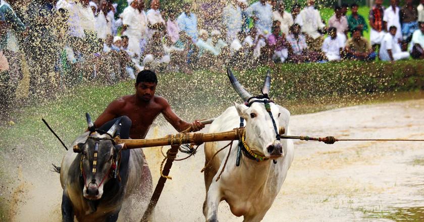 Bull Surfing in Kerala © Sameerct/ Wikimedia Commons