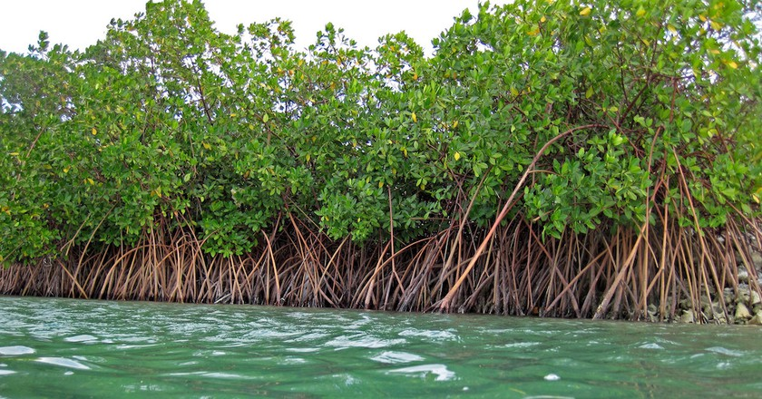 Red mangroves| © James St John/Flickr