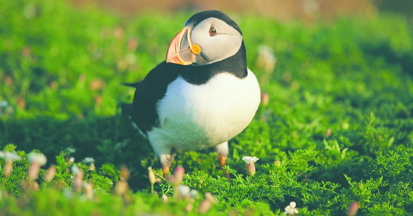 Atlantic Puffin on Skomer. Image courtesy of Visit Wales