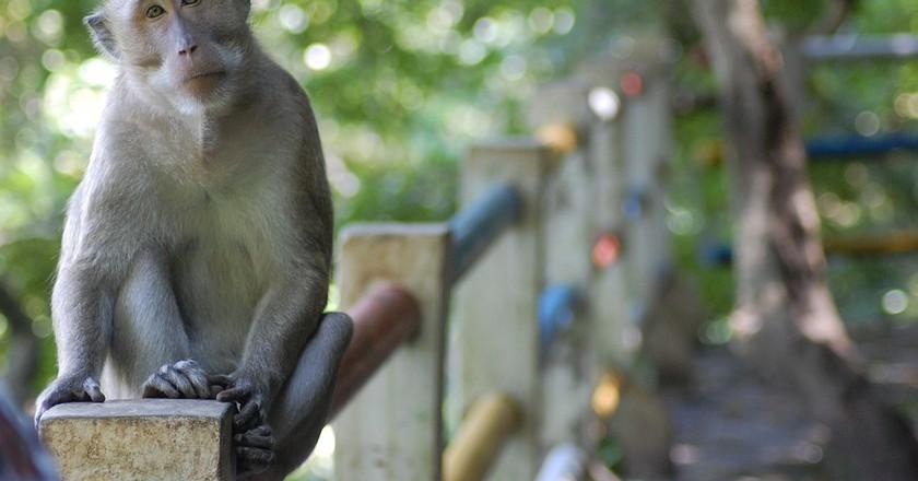 Semarang Central Java Monkey | © Max Pixel / FreeGreatPicture.com