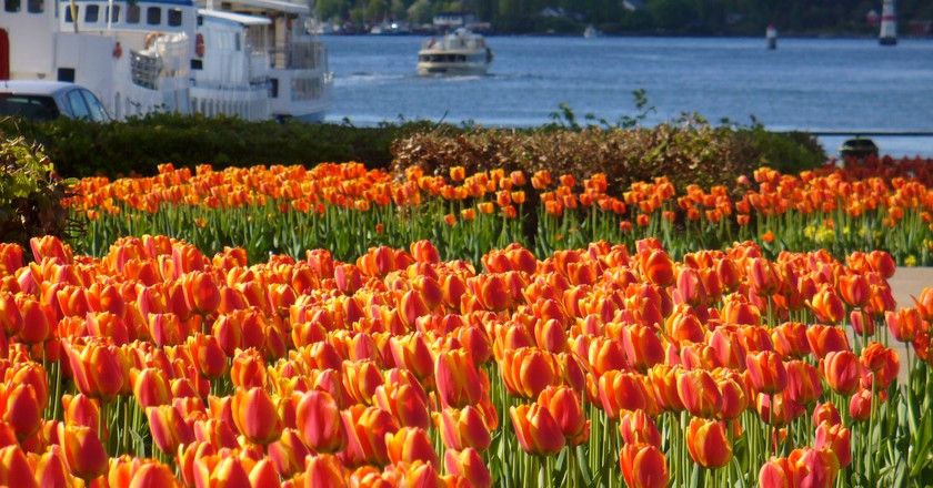 Tulips by the City Hall © Laurent / Flickr