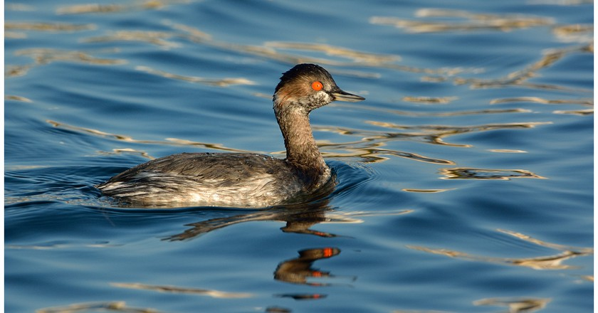 The black-necked grebe is resident to Provence | © Jean Jacques Boujot/Flickr