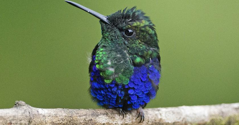 Green Crowned Woodnymph Hummingbird, Milpe, Ecuador   © Lip Kee / Flickr