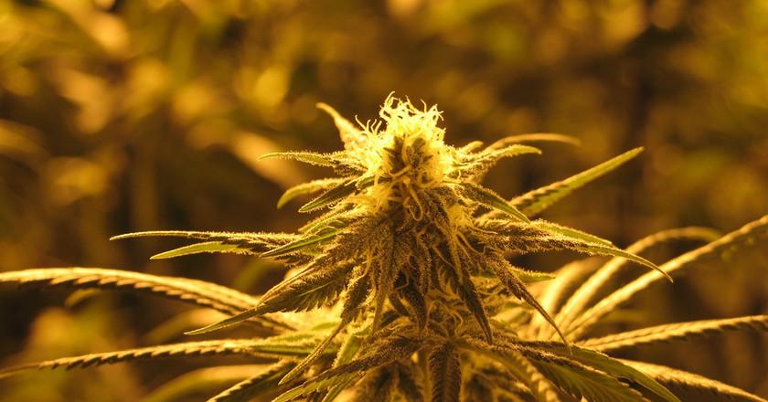 Marijuana   © Bob Doran/Flickr
