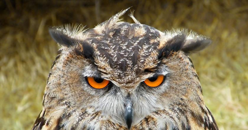 Owl   © Mark Coleman / Flickr