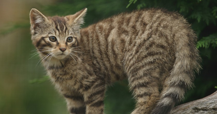 Scottish Wildcat Kitten | © Peter Trimming/Flickr