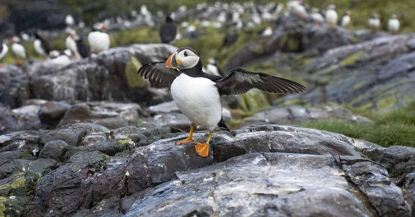 Puffin, Farne Islands | © Conor Lawless/Flickr
