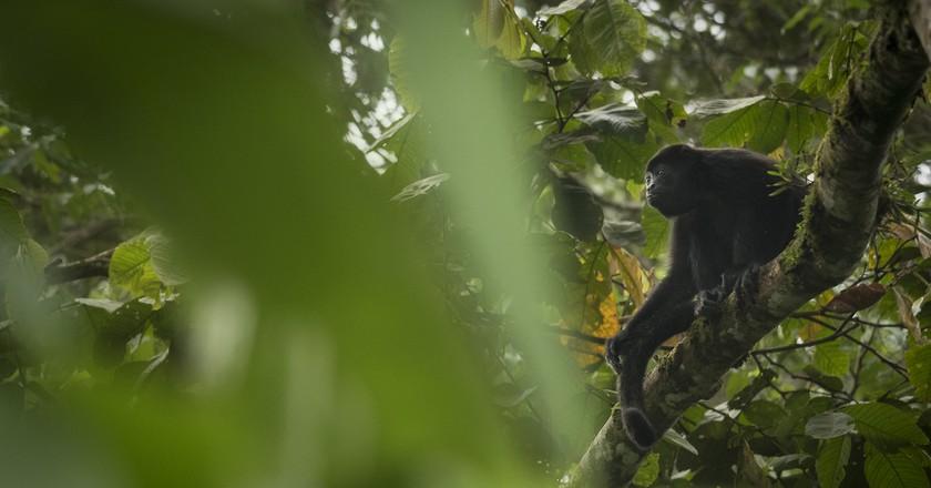 Howler Monkey   ©Sebastian Di Domenico /Flickr
