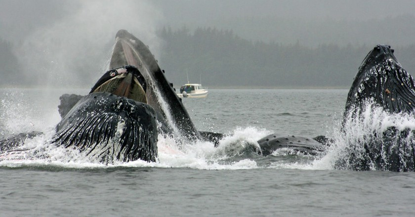 Humpback whales in Alaska using their bubble net feeding technique | © jerseygal2009/Flickr
