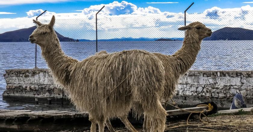 Llamas at Lake Titicaca   © Matthew Straubmuller/Flickr