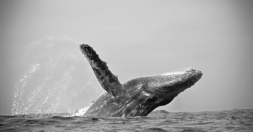 Humpback whale, Ecuador   © Nadine Reichardt/WikiCommons