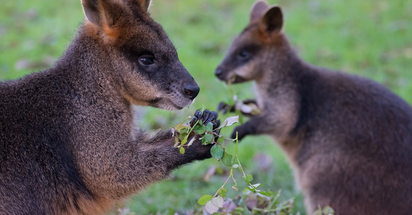 Here's How Wild Wallabies Turned Up on the Coast of Ireland