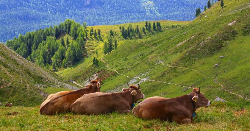 Cows, a mainstay of the Swiss Alps   © kahsky/ Pixabay