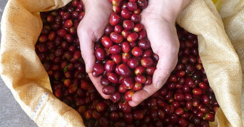 Geisha coffee beans © Lagunas Adventures