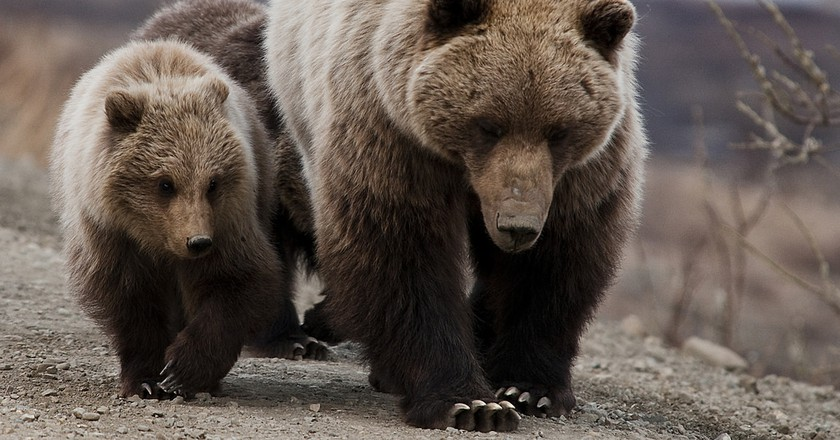 """<a href=""""https://www.flickr.com/photos/denalinps/5728173840/"""" target=""""_blank"""" rel=""""noopener noreferrer"""">Grizzly bears   © Denali National Park and Preserve, by Tim Rains / Flickr</a>"""