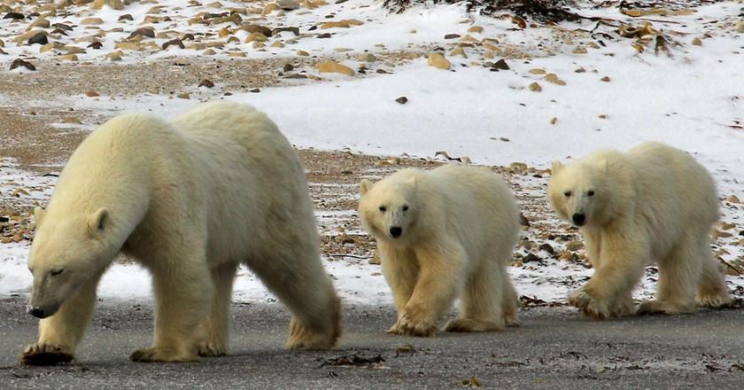 Polar bears | © Emma / Flickr