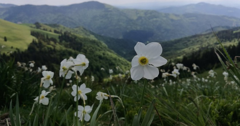 Poiana Narciselor in Rodnei Mountains