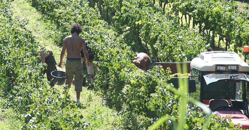 """<a href = """"https://commons.wikimedia.org/wiki/File%3AHand_harvesting_grapes_in_Provence.jpg""""> Wine harvest in Provence │© Steven Verbruggen/Wikimedia Commons"""
