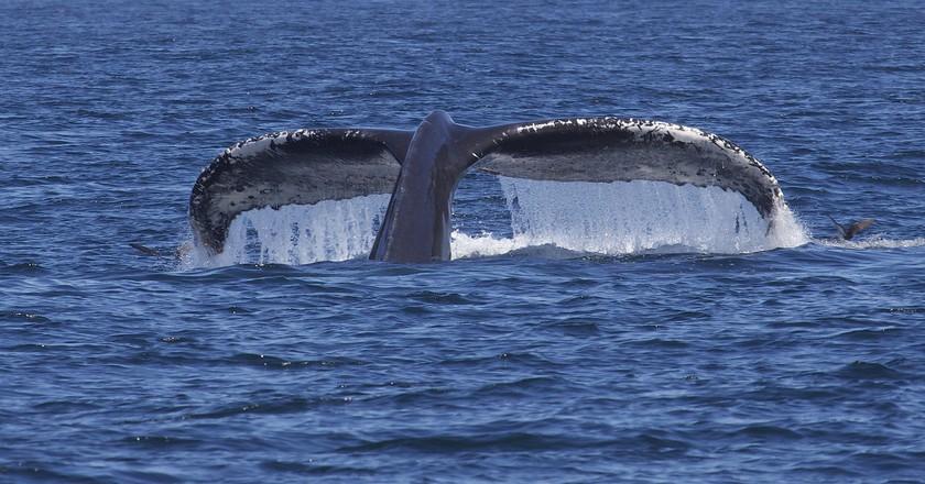 "Humpback whale   © PROGregory ""Slobirdr"" Smith / Flickr"