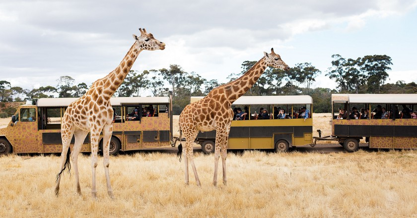 Safari tour bus with giraffe courtsey of Werribee Open Range Zoo