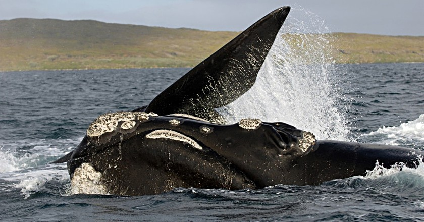Southern right whale | © Oregon State University / Flickr