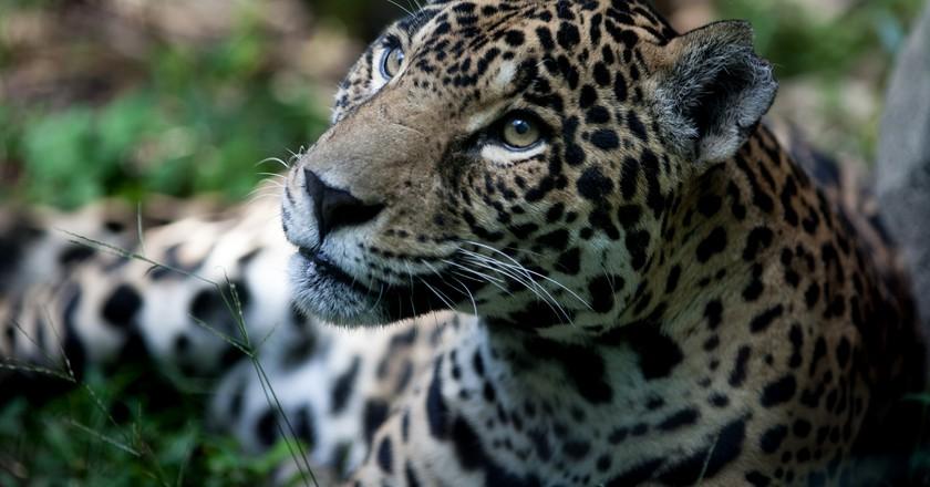 Jaguar   © Eduardo Merille/Flickr