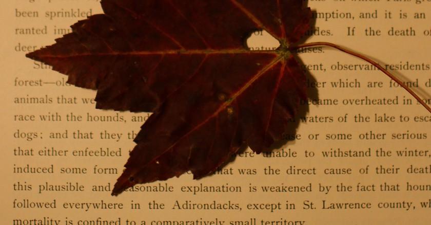 Pressed Maple Leaf | © Chris Waits