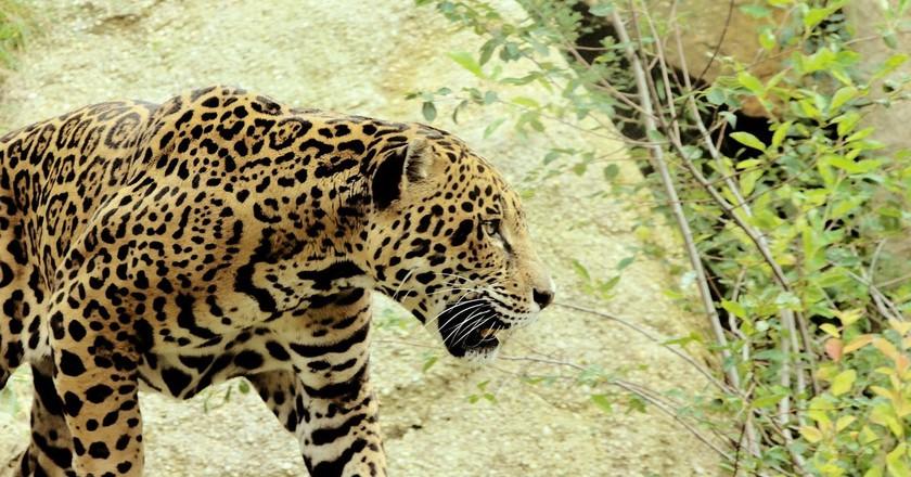 Jaguar | © PublicDomainPictures / pixabay