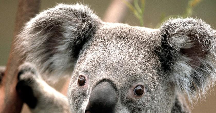 Koala | © socmedt00156247/Flickr