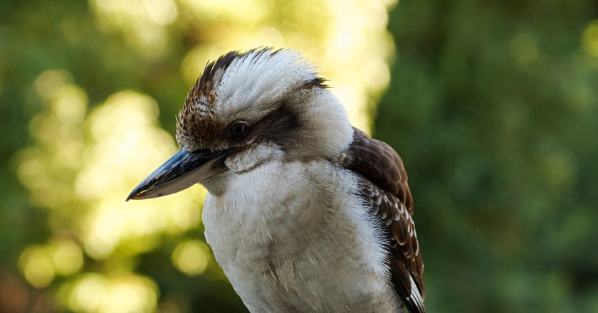Kookaburra | © VirtualWolf/Flickr