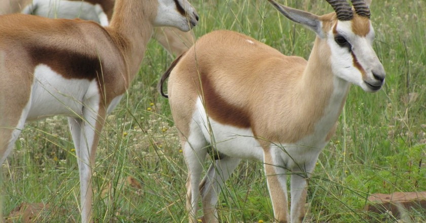 Springbok   Courtesy of Moreleta Kloof Nature Reserve