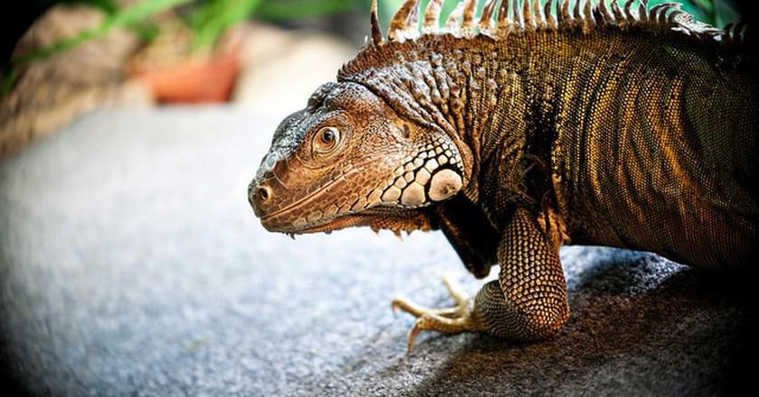 Green Iguana  © Leslie Science & Nature Center / Flickr
