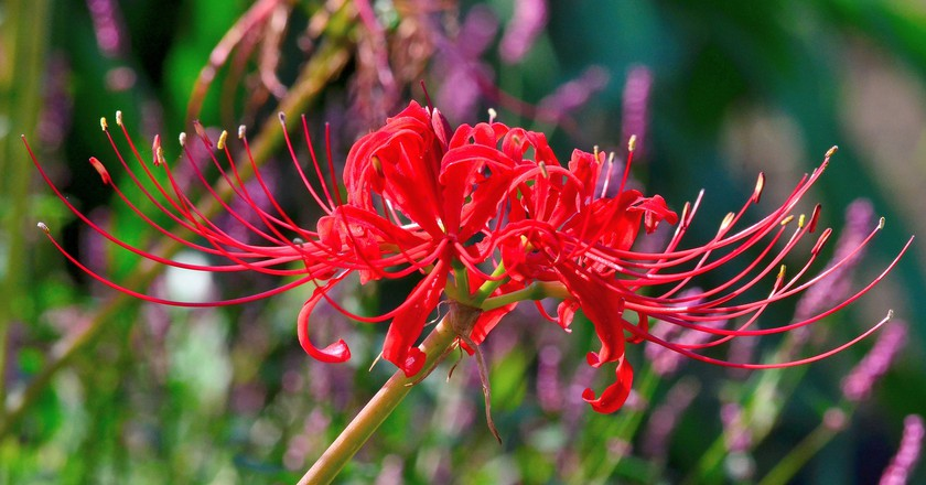 Hanakotoba the secret meanings behind 9 flowers in japan red spider lily the flower of final partings toshihiro gamo flickr mightylinksfo