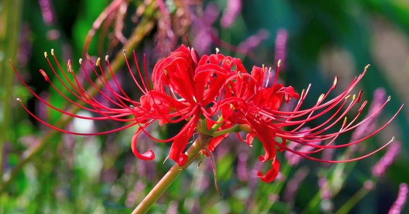 Hanakotoba The Secret Meanings Behind 9 Flowers In Japan