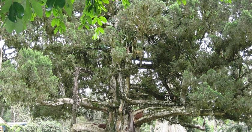 Gregory the tree at Aburi | © Erik Cleves Kristensen / Flickr