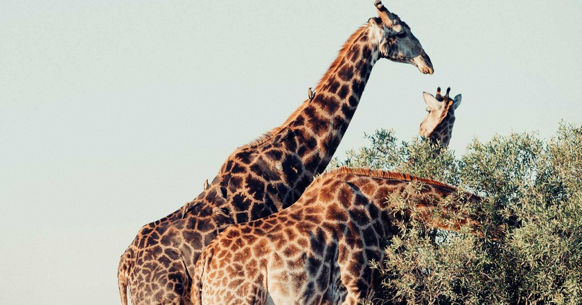 Three grazing giraffes | ©Cara Fuller/Unsplash