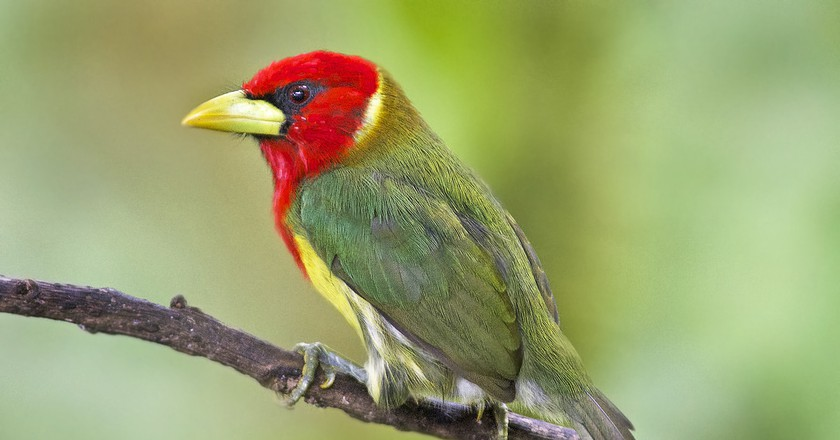 Red-headed barbet in Colombia | © Dave Wendelken / Flickr
