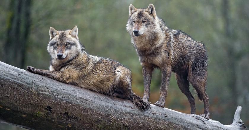 Wolves in France | © Tambako The Jaguar / Flickr
