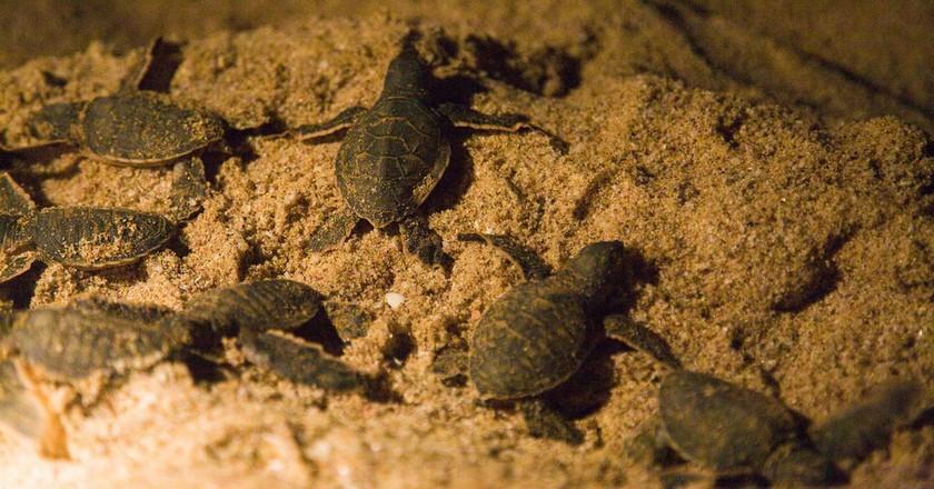 Baby sea turtles   © Andries3 / Flickr