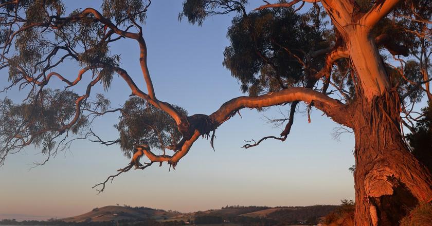 Eucalyptus   © Ed Dunens/Flickr