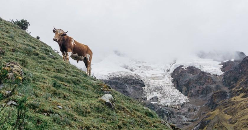 Cow | Mia Spingola / © Culture Trip